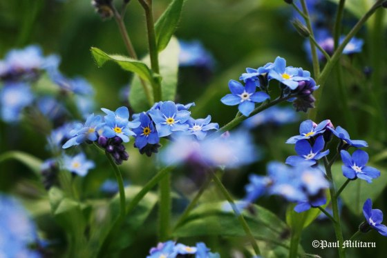 smiling to you with...forget-me-not