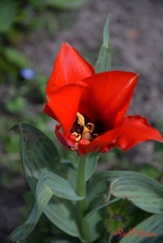 tulip opened