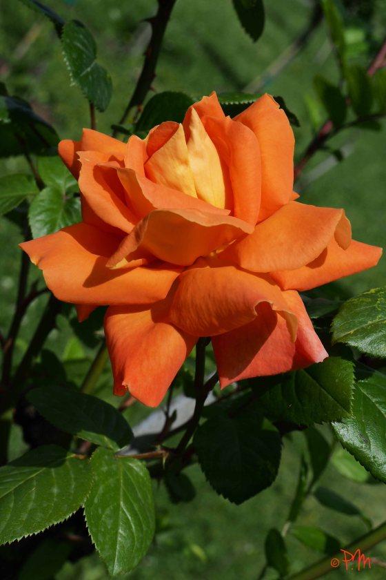 rose for Mona 2