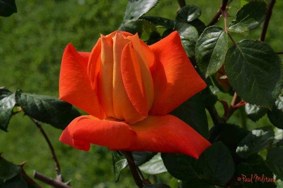 special rose