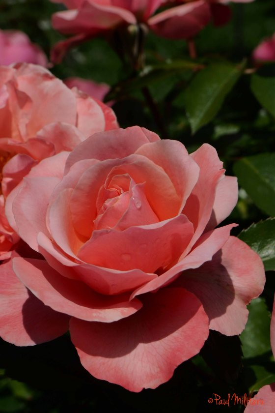 a tear and a pink rose