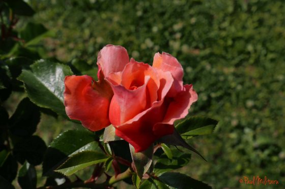 red lace rose