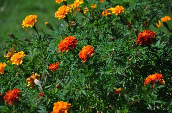 marigold bush