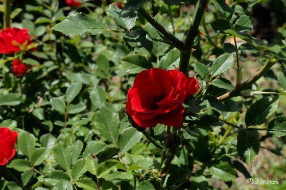 a little wild romantic rose