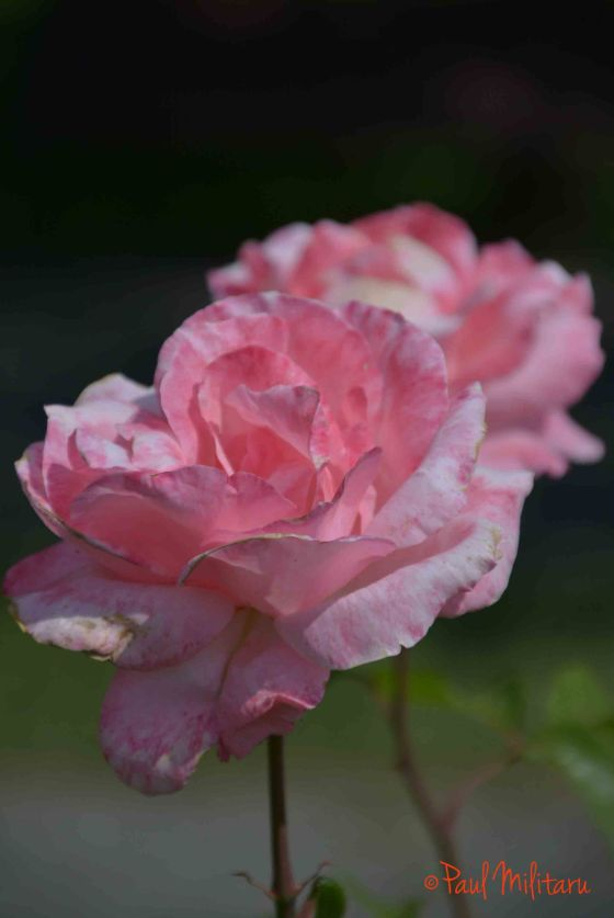 don't let me die, said the pink rose