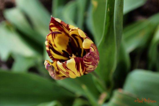 special tulip color 2