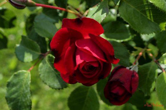 romantic red rose