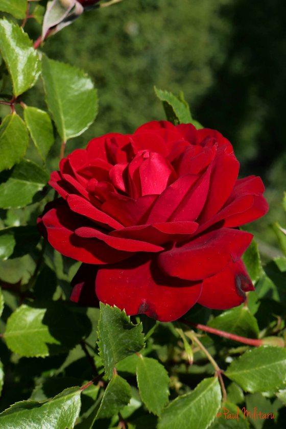 sensual romantic red