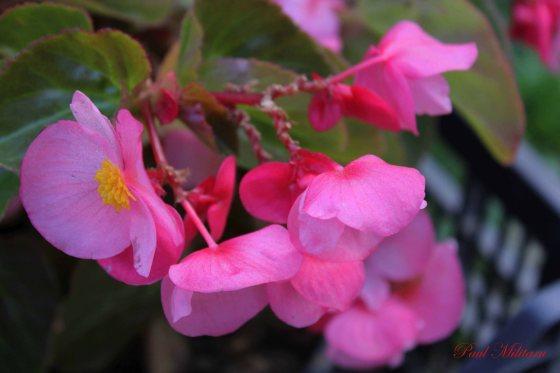 pink ornamental flowers