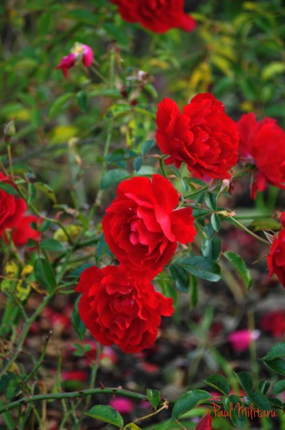 romantic wild red roses